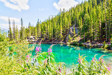 Emerald-Colored Grassi Lakes With Fireweeds In The Foreground