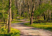 A Path Among Yellow Flowers In...
