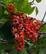 Fruit Of The Amazonian Aphrodisiac Plant, The Guarana. A Fruit That Seems To Have Eyes To Observe Everyone. Photo Taken In The City Of Maués.
