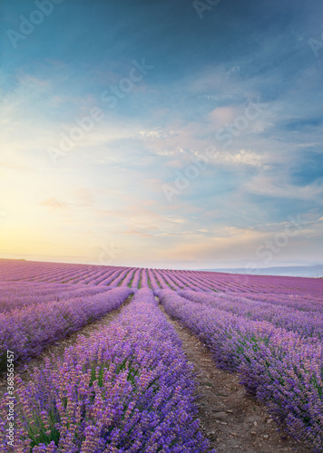 Fototapeta Meadow of lavender at morning light. obraz na płótnie