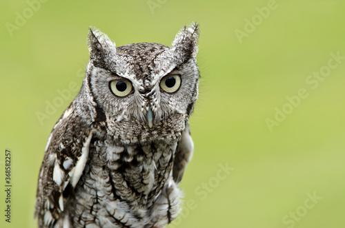 Obraz Portrait of Eastern Screech Owl (Megascops asio), on natural green background. Copy space. - fototapety do salonu
