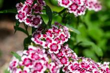 Dianthus Barbatus Beautiful Or...