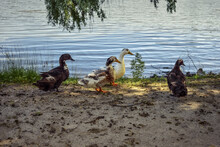 Four Adult Multi-colored Ducks Stand On The Shore Of The Pond. Free-range Domestic Ducks. Agricultural Background With Copy Space