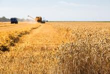 Harvesting Wheat In Zeeland, T...