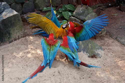 Obraz na plátně Fighting Red-and-green Macaws (Ara chloropterus) and Blue-and-yellow Macaw (Ara