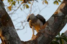 Immature Harpy Eagle (Harpia H...