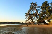 An Old, Gnarled Monterey Pine ...