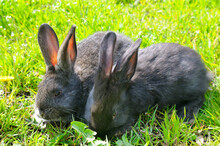 Two Young Rabbits On The Green...