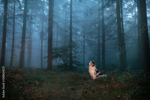 dog in a foggy forest. Pet on the nature. Marble Australian Shepherd. Mystical pet
