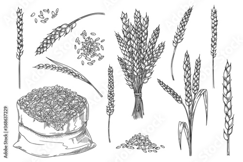 Obraz Wheat spikelet. Hand drawn isolated bakery design element. Wheat ear spikelet, grain bunch, seed in textile bag sketch. Baking raw kernel material illustration. Cereals vector set. Farm harvest - fototapety do salonu