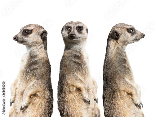 three meerkats stand watch isolated on a white background.