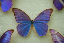 Beautiful Morpho Anaxibia Butterfly On White Background