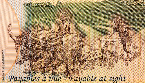 Papel de parede Farmers ploughing a field with Watusi bulls