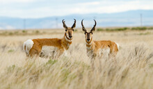 The Pronghorn Antelope Is A Sp...