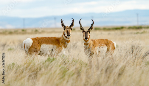 The pronghorn antelope is a species of artiodactyl mammal indigenous to interior western and central North America Wallpaper Mural