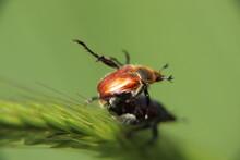 Mating Anisoplia Beetles