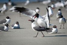 Laughing Gulls Mating Ritual