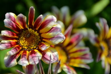 Delicate Gazania Flower In The...