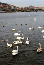 Vltava River. Prague. Dove. Swan. Kayak. Wild Duck.