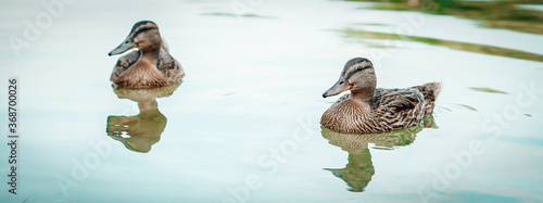 Photo Banner amazing mallard ducks swims in lake or river with blue water under sunlight landscape
