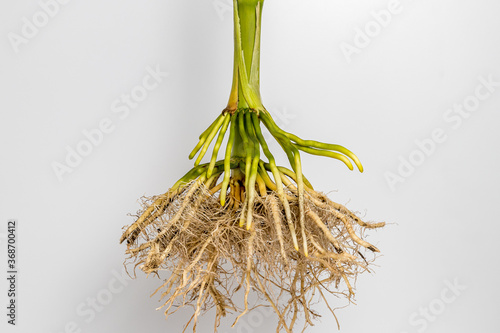 Closeup of cornstalk root system of corn plant isolated on white background Canvas-taulu