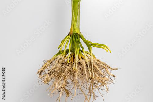 Obraz na plátne Closeup of cornstalk root system of corn plant isolated on white background