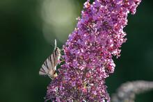 Butterfly Scarce Swallowtail, ...