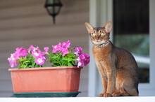 Abyssinian Cat In Collar, Sitt...