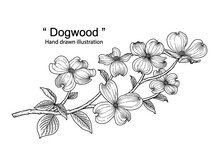 Sketch Floral Decorative Set. Dogwood Flower Drawings. Black Line Art Isolated On White Backgrounds. Hand Drawn Botanical Illustrations. Elements Vector.