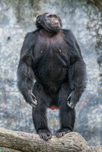 Chimpanzee Stands And Looking ...