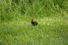 Common Coot (Fulica Atra) Chick In The Grass On Its Own