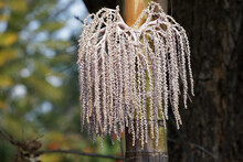 Seed Pods Hanging Of Palm Tree