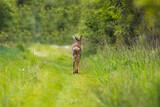Fototapeta Zwierzęta - Sarna europejska Capreolus capreolus na spacerze, zwierzę odwrócone tyłem spaceruje po ścieżce