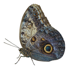 Close-up Of A Large Blue And C...