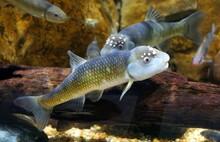 A Male Bluehead Chub, A Freshwater Fish, Inside An Aquarium
