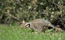 Chukar Partridge (Alectoris Chukar), Greece
