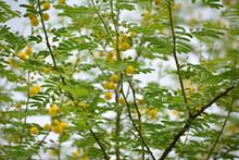 Vachellia Nilotica Or Gum Arabic Flowers