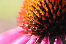 Morning Dew On A Coneflower