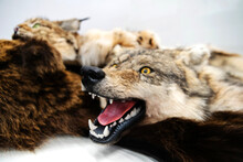 The Head Of A Wild Wolf Is Kil...