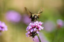 Hummingbird Hawk-moth Pollinating A Flower