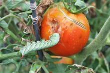 Tomato Hornworm Eating Tomato