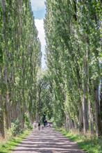 An Avenue Of Poplar Trees In A Park In Mid-summer In Manchester.