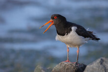 Calling Oystercatcher On The North Sea