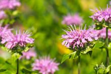 Monarda Fistulosa, Wild Bergamot Or Bee Balm,  Pink Wildflower In The Mint Family Lamiaceae