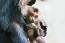 Wanderu Or Lion-tailed Macaque, Macaca Silenus. Indian Wanderu Female With Cub