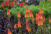 Beautiful Image Of Red Hot Pokers Or Kniphofia Growing