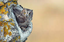 Scops Owl Looking Out Of Nesth...