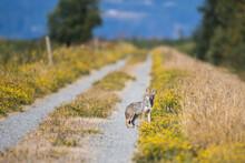 Coyote Stares Into The Camera ...