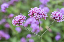 Willow Verbena Grown In The Park