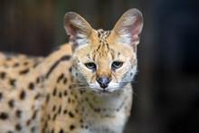Close Young Serval Cat (Felis ...
